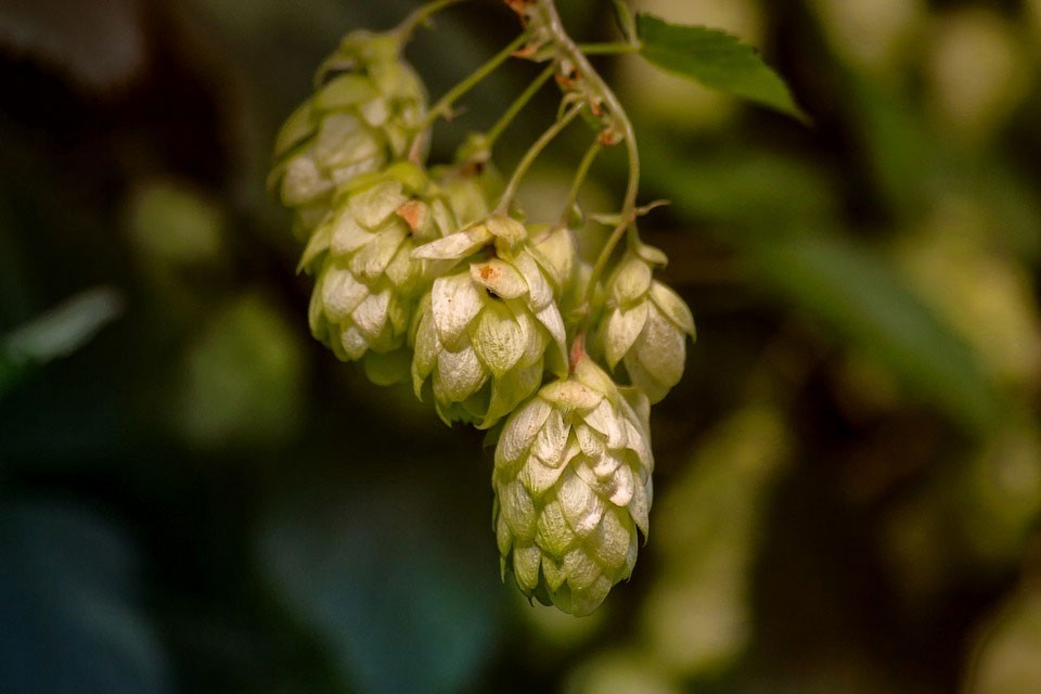 Hops can be useful to assist sleep