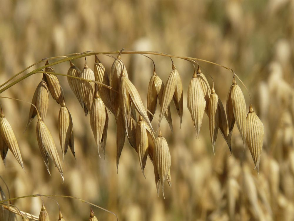 Oats are a source of phosphorous