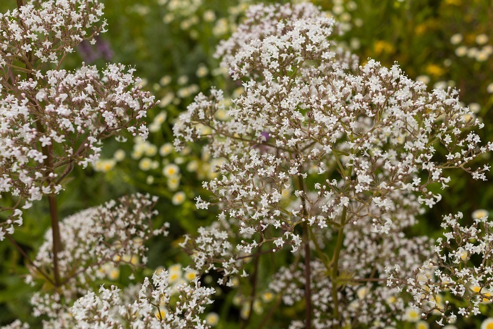 Valerian is a great supplement to maintain good GABA levels