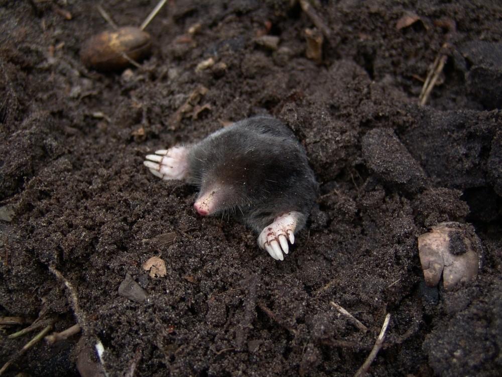 mole emerging from dirt